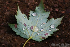 Water Upon a Fallen Leaf
